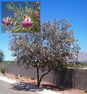 Desert Willows Are Native To The U S Southwest And Northern Mexico Their Name Mimbre Means Willow Like Aren T In Fact