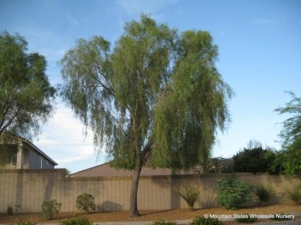 Trees Matter Shade Tree Types Willow Acacia