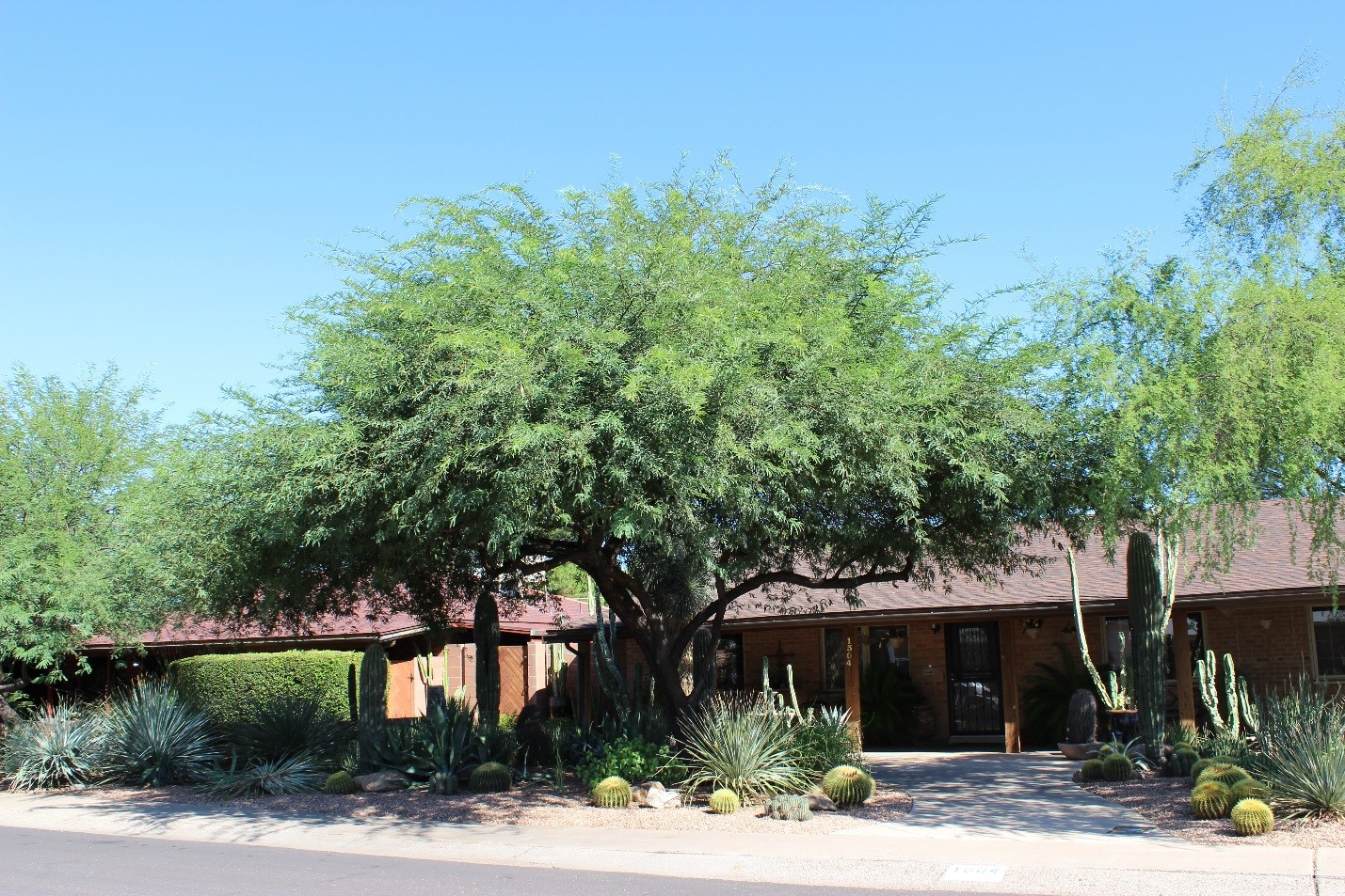 The Thornless Hybrid Mesquite (THM) is another favorite of people because the tree grows quickly has a wide lush green canopy that provides great shade ... & Trees Matter - Shade Tree Types: Thornless Hybrid Mesquite