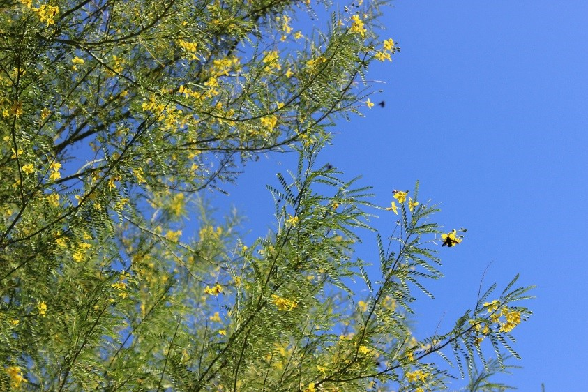 Trees matter shade tree types thornlesss palo verde during spring and summer months tpvs bloom into small yellow flowers in addition to providing beautiful blooms the flowers attract mightylinksfo