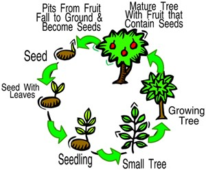 as part of the tree life-cycle (refer to the right diagram), a mature tree  provide fruits, nuts, and seeds for wildlife and a percentage of tree seeds  will